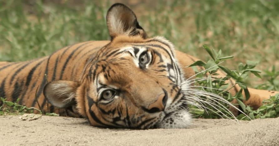 Jungle Stripes Betsoft'un Son Sürümü